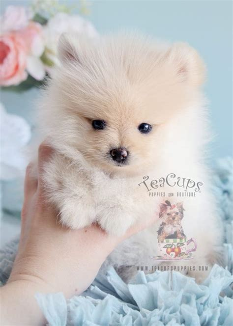 pomeranian puppies for sale florida tiny teacup pomeranians and pomeranian puppies for sale by teacups teacups puppies