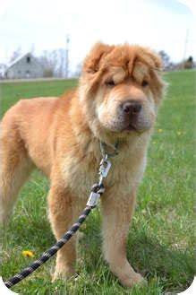 golden retriever shar pei mix golden pei shar pei golden retriever hybrid golden peis car interior design