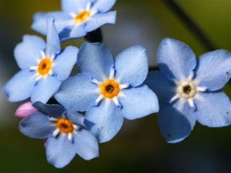 blue flowers picture tiny flowers in bloom light colored 9 best flowers for garden design reader s digest