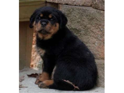 rottweiler india buy rottweiler puppies india photo