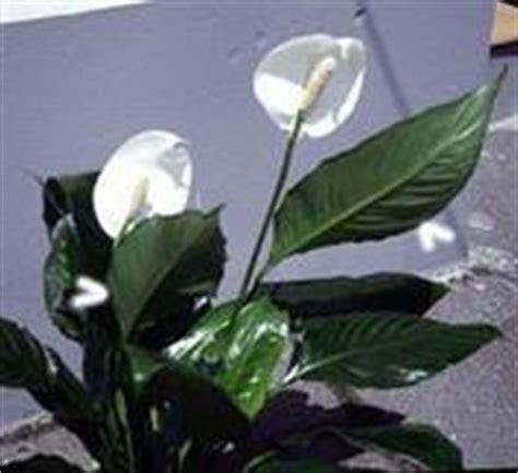 fiore bianco con pistillo giallo dio dopo dio buono e le miserie