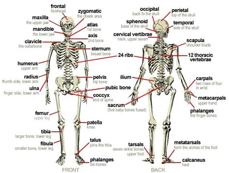 human bones diagram human diagram image diagram of the skeleton