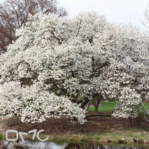 details  great northern magnolia magnolia kobus var