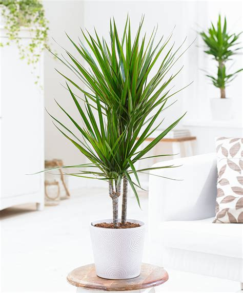 Plantation Style by Achetez Maintenant Une Plante D Int 233 Rieur Dracaena