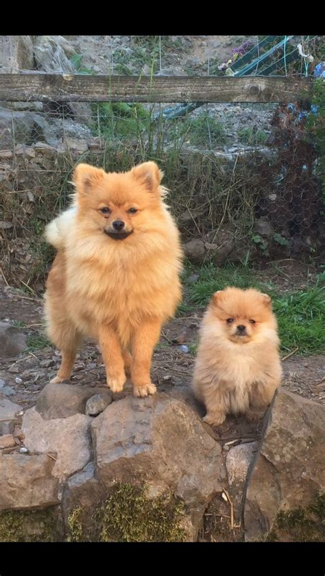 fluffy pomeranian puppies for sale uk 1 chocolate small pedigree fluffy pom ayr ayrshire pets4homes