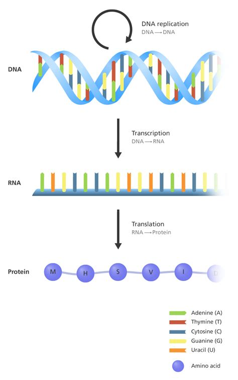 protein definition biology what is the central dogma facts yourgenome org