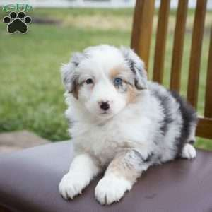 australian shepherd puppies ohio australian shepherd puppies for sale in pa