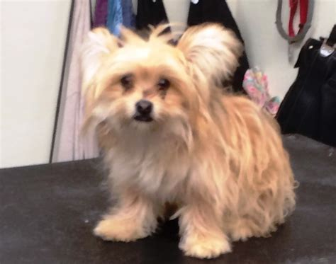 yorkie pomeranian mix hair cuts mix hair cut 17 best images about all things pekingese