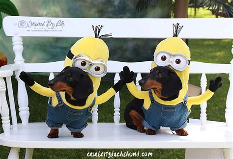 minion costumes for dogs wienerfest 2015 wwii harvard planes crusoe explores oxford county