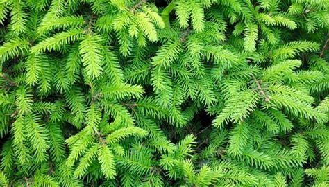 Tannenbaum Nadeln Verhindern by Rezepte Mit Tannenwipfeln Honig Und Sirup Aus Nadeln