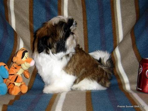 Pedigree Puppy 5 Signs Of Health 480 Gr akc shih tzu boys ch dam ch gr sire dam free neuter