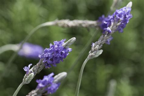 lavender hawaii horticulture