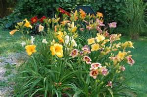 Daylilies Growing Daylilies And Daylily Propagation Old Farmer S Almanac