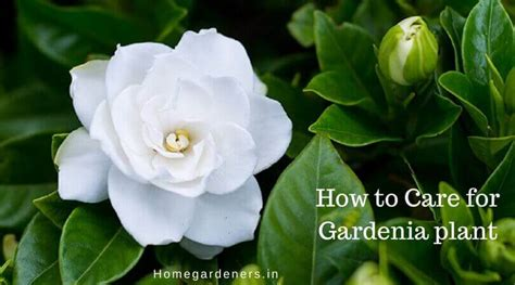 gardenia plant how to care for gardenia plant at home