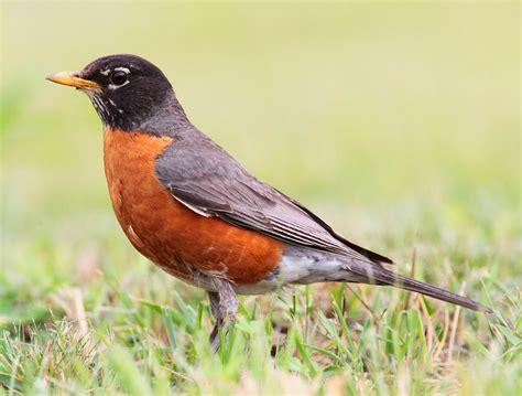bird directory american robin