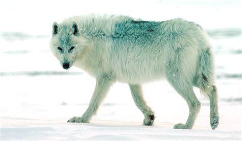 Loup arctique, Canis lupus arctos