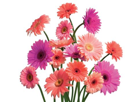 Ideas For Gerbera Flowers Gerbera Daises Use The And Innocency Of These As Wedding Flowers Unique Wedding