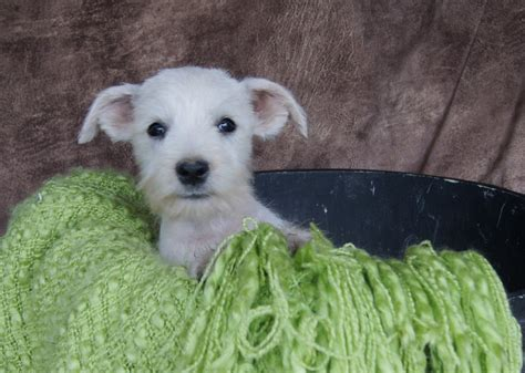 white miniature schnauzer puppies for sale white miniature schnauzer puppies for sale