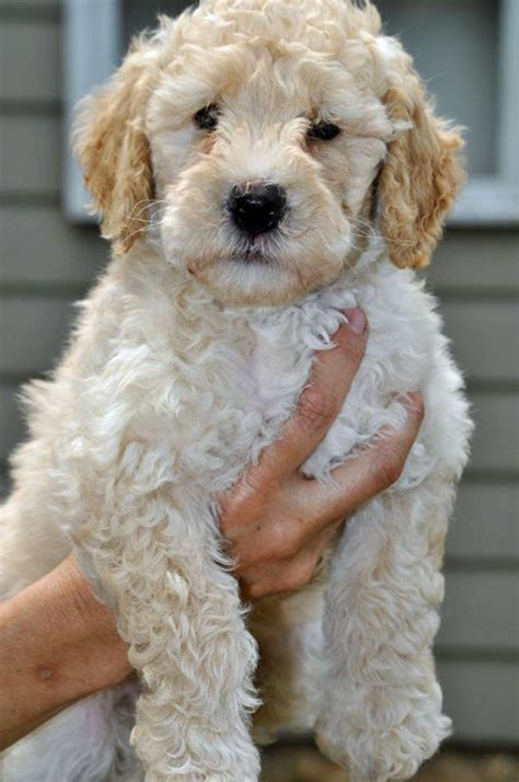 mini goldendoodles midwest let s give this labradoodle puppy some