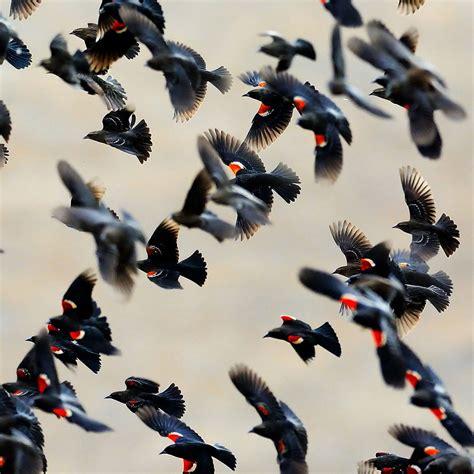 tri colored blackbird help california s tricolored blackbirds