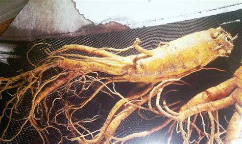 Akar Ginseng Korea meningkatkan produksi dengan beberapa bahan alami richkhan