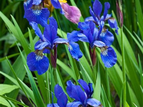 fiori iris fiori iris fiori delle piante