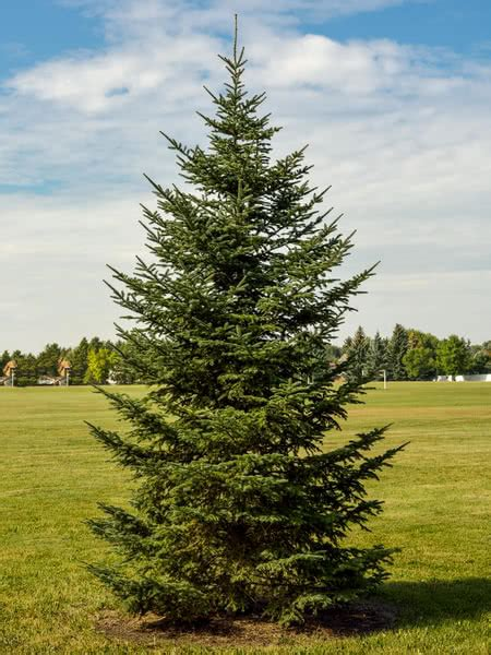 piper mountain christmas tree farm for sale balsam fir for sale treetime ca