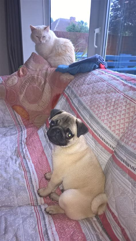 pugs for sale in bc pug for sale birmingham west midlands pets4homes