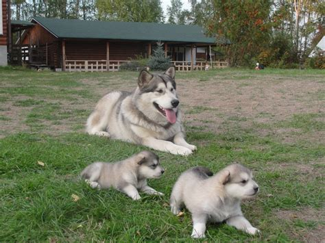 alaskan malamute puppy price most expensive breeds in the world alux