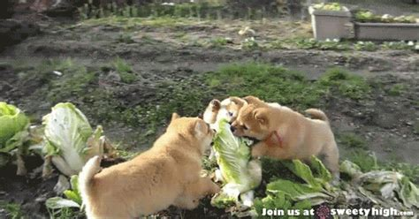 dogs eat lettuce shiba inu gif find on giphy