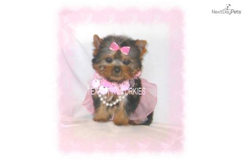 puppies for sale in tri cities tn yorkie puppy 24 weeks 6 months breeds picture