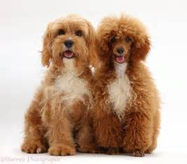 Pin dogs cavapoo pups 6 weeks old photo wp25373 on pinterest