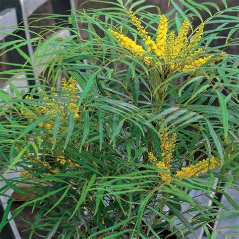 Blue Patio Furniture Soft Caress Mahonia Perennial Gardenista