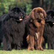alimentazione terranova terranova cani taglia gigante caratteristiche