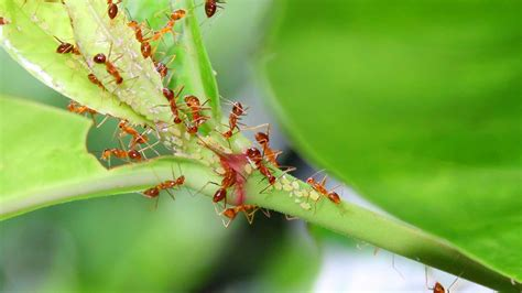 do ants eat aphids insects and moths of kerala photos 187 dekochi photo journal