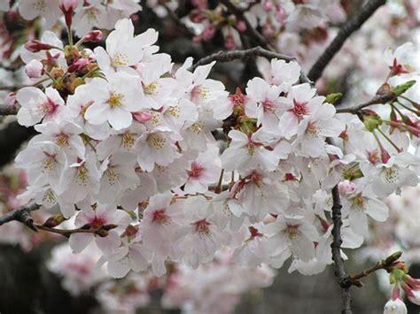 immagini fiori di ciliegio fiori di ciliegio significato e immagini idee green