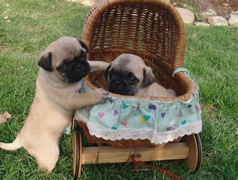 6 week pug puppy care best 25 pug puppies ideas on