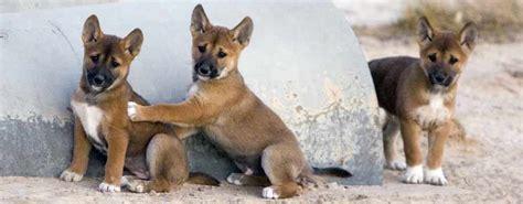 dingo puppies dingo breed standards
