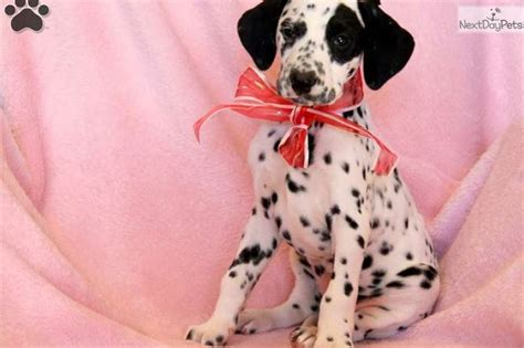 dalmatian puppies for sale in ky 25 best ideas about dalmatian puppies for sale on dalmatians for sale