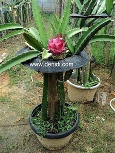 Harga Pot Anggrek Tanah Liat bertanam buah naga dalam pot kabar agro