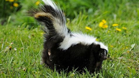 skunk in backyard how to keep skunks away