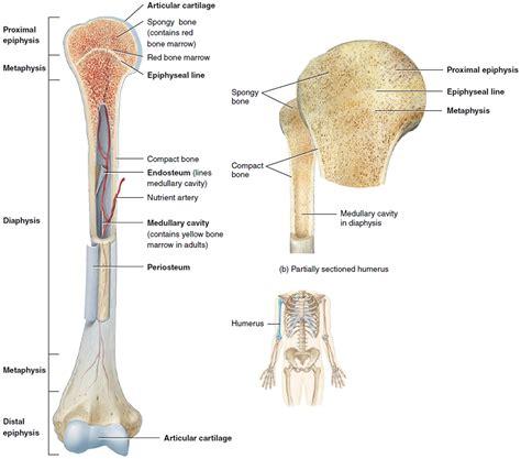 Of Bone human skeleton skeletal system function human bones