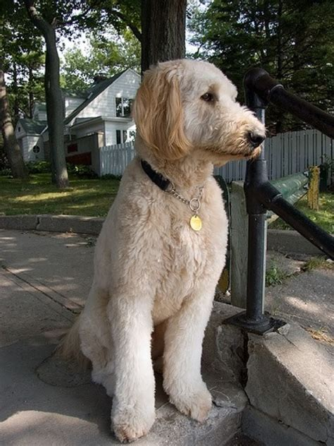 Goldendoodle Puppy Shedding by Goldendoodle Haircut Pictures Newhairstylesformen2014