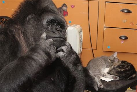 Koko Avenger Size M koko the gorilla adopts two kittens and cuddles up to them in footage daily mail