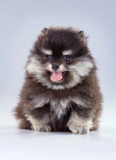 raising a pomeranian puppy puppy on beagles puppies and boston terrier puppies