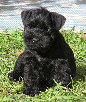 black schnauzer puppies for sale black miniature schnauzer puppies for sale reberstein s