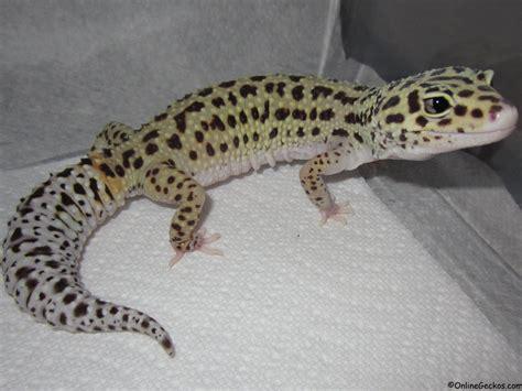 leoparden deko onlinegeckos gecko breeder leopard geckos for sale