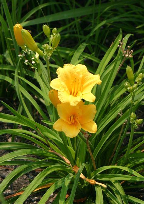 daylilly flowers expert advice hicks nurseries
