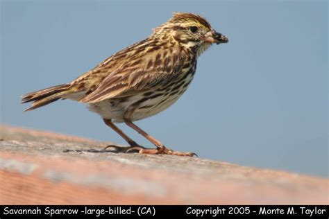 sparrows and other seedeaters 1 gallery