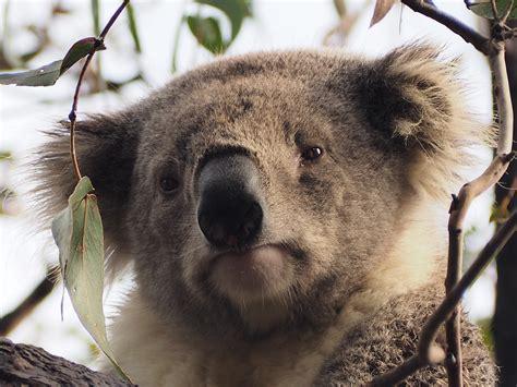 Metto Koala climat et m 233 t 233 o en australie le sur l australie